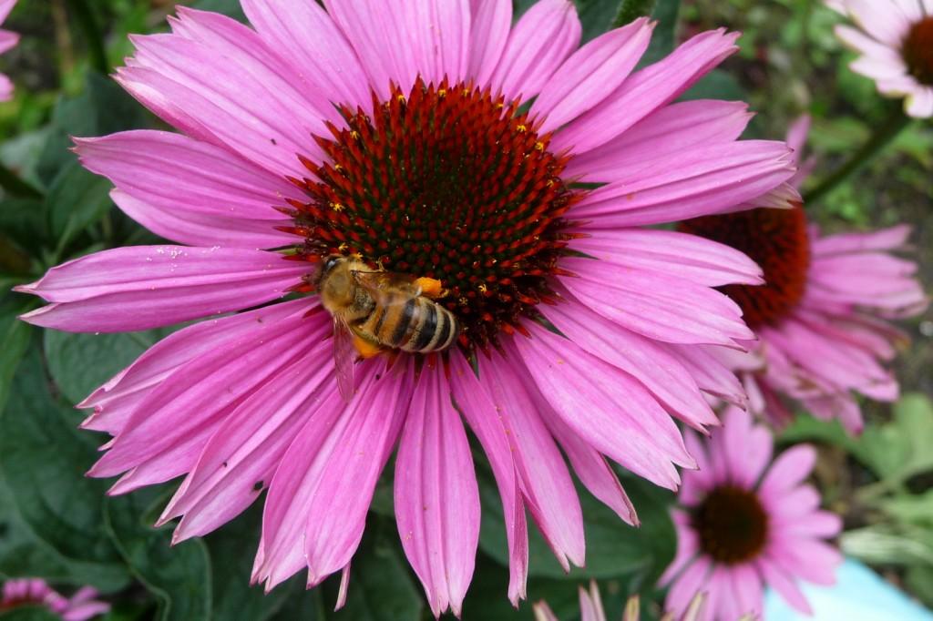 Pflanzen, die Pollen und Nektar liefern, sind Nahrungsquellen für Bienen und andere Insekten.