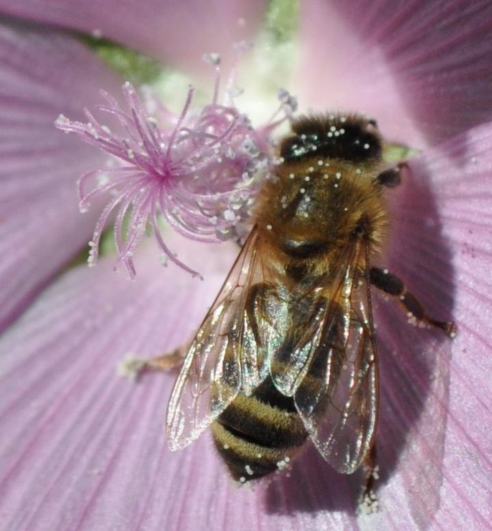 Mit Pollen bestäubte Honigsammlerin. Der Blütenstaub ist Nahrung für die Biene und ihre Brut.
