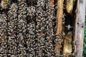 Zur Entnahme der Probe aus der Bienenkiste musste ein großes Wabenstück herausgeschnitten werden.