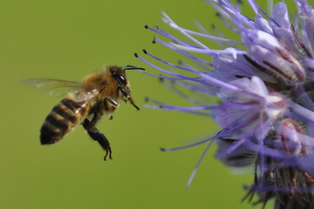 Da fliegt sie! Endlich ist es mir gelungen, eine Biene im Anflug auf eine (Phazelia-) Blüte zu fotografieren.