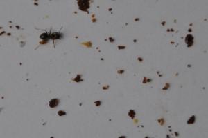 Im Gemüll finden sich neben der toten Ameise auch Varroamilben, zu erkennen an ihrem ovalen Körper.