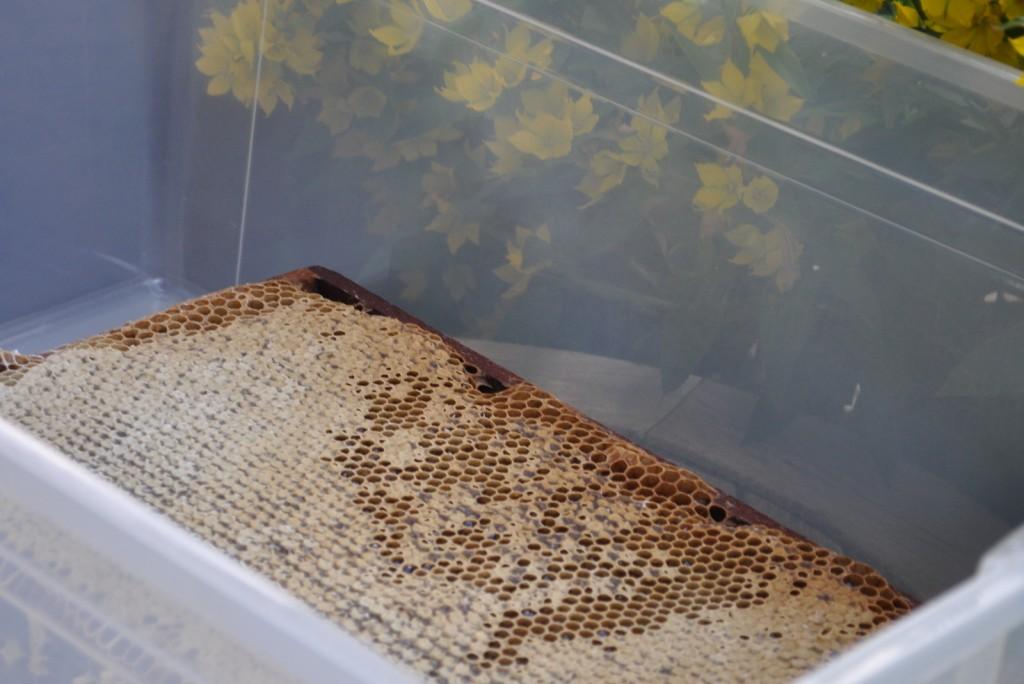 Wenn 2/3 der Wabenzellen verdeckelt sind, ist der Honig reif.