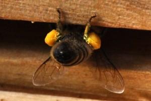 Kleine Hängepartie: Eine Arbeiterin kehrt mit prall gefüllten Pollenhöschen in den Stück zurück.