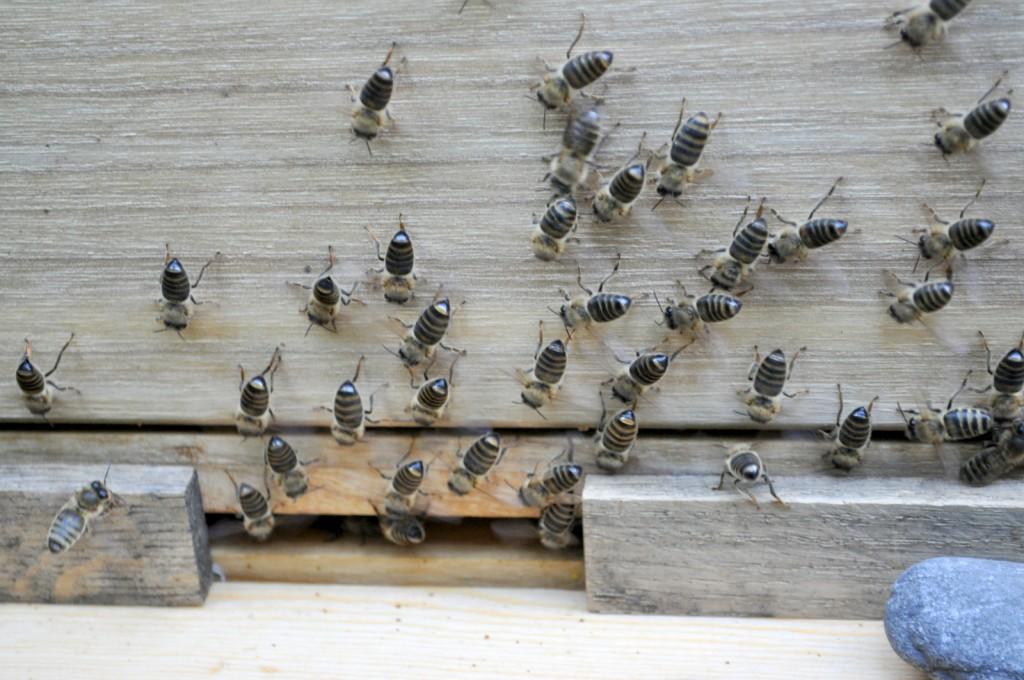 Natürlich versetzt so ein Eingriff die Bienen in Aufruhr. Viele saßen später sterzelnd vor dem Einflugloch.