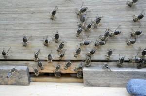 Bienen kommunizieren unter anderem mit Duftstoffen aus der Sterzeldrüse. Hier sterzeln sie, weil ich sie durch das Öffnen der Kiste gestört habe.