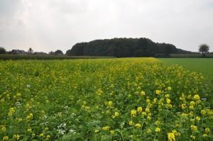 Zum Vergleich: Das Feld mit gelb blühendem Senf vor drei Wochen.
