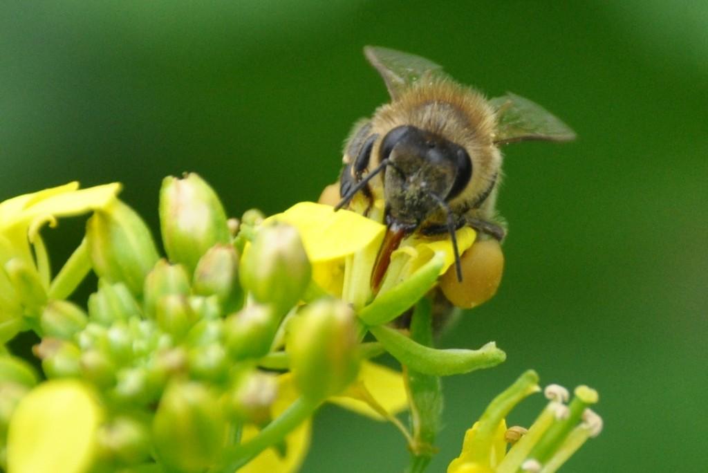 Der Saugrüssel besteht aus einer langen,rinnenförmigen,behaarten Zunge,deren Ränder  zu einer Röhre zusammengebogen werden können.An der Spitze der Zunge sitzt ein  Haarbüschel,das wie ein Schwamm die Flüssigkeit aufsaugt,von denen sich die Biene  ernährt.Bienen können nur flüssige Nahrung aufnehmen,beispielsweise Nektar aus  Blüten.