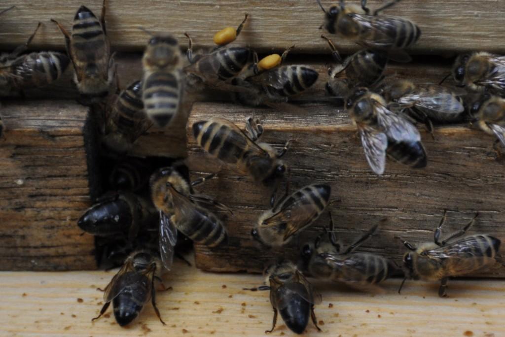 Die zwei Bienen räubern (hoffentlich nicht bei mir), zu erkennen ist dies an den dunklen Hinterleibern, von denen die Härchen abgeknabbert wurden.