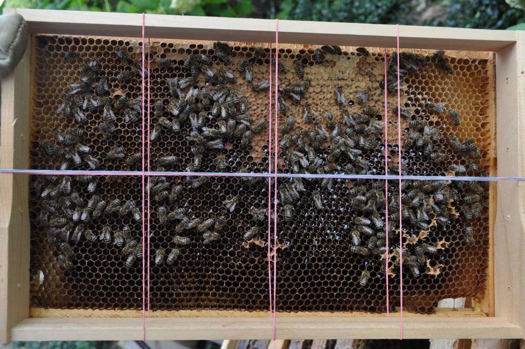 Dank Schätzrahmen leicht zu erkennen: 1,5 Felder sind mit verdeckeltem Futter gefüllt. Mit dem Schätzrahmen kann man auch Brut- und Bienenbestand schätzen.