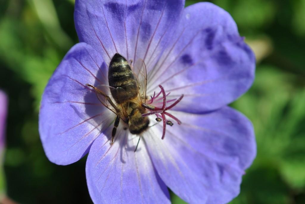 """Wie zum Beispiel hier: Das Beet mit Storchenschnabel lässt das Herz von Imker und Biene höher schlagen. Es wimmelte nur so von Sammelbienen. Habe mir auch die Sorte notiert: Geranium Hybride """"Rozanne""""."""