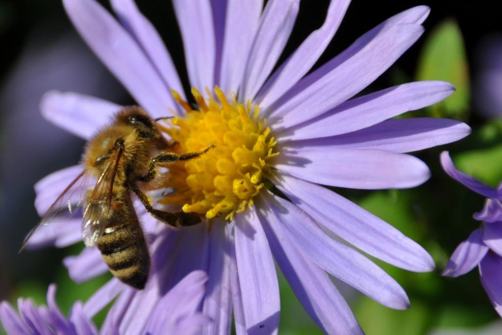 Für einen Moment kam heute die Sonne heraus und sofort summte es bei den Herbstastern. Konnte gut beobachten, wie die Biene im Uhrzeigersinn die Blüte bearbeitete.