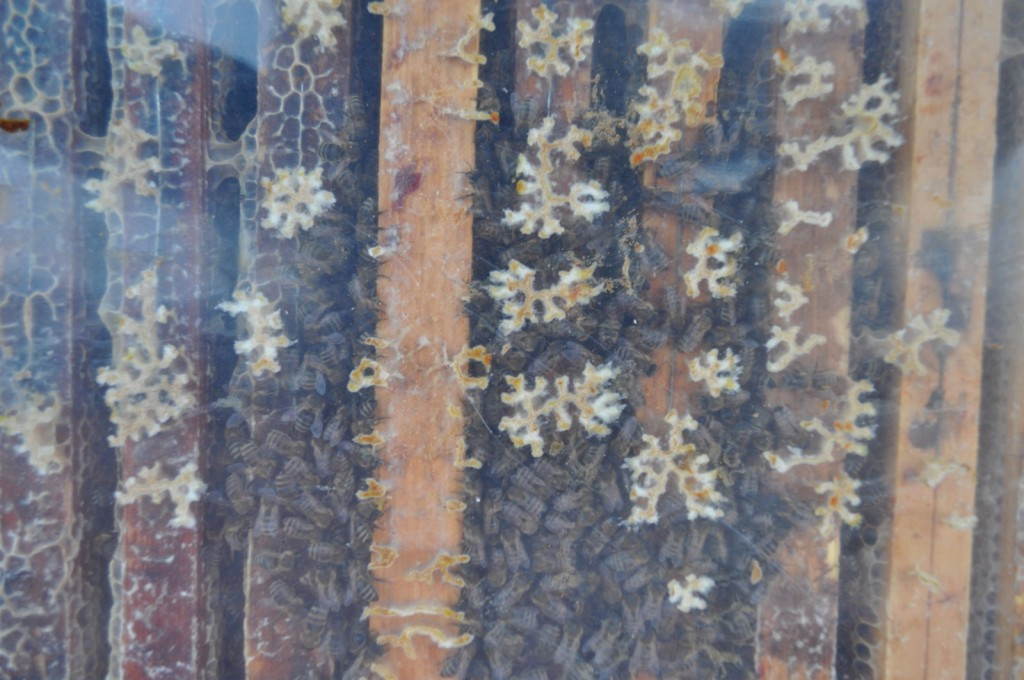 Eng ist gemütlich: Die Bienen haben sich über fünf bis sechs Rähmchen zur Wintertraube zusammengefunden.