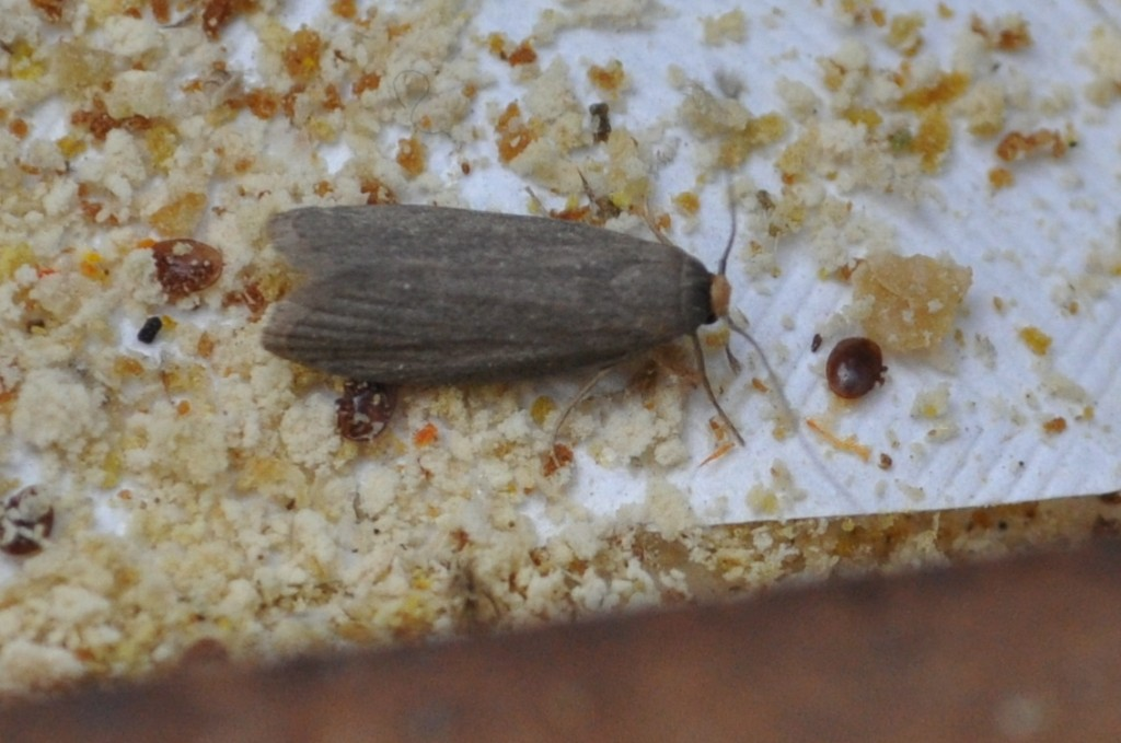 Mitbewohner im Bienenstock: Eine Wachsmotte krabbelt auf eine Varroamilbe zu.