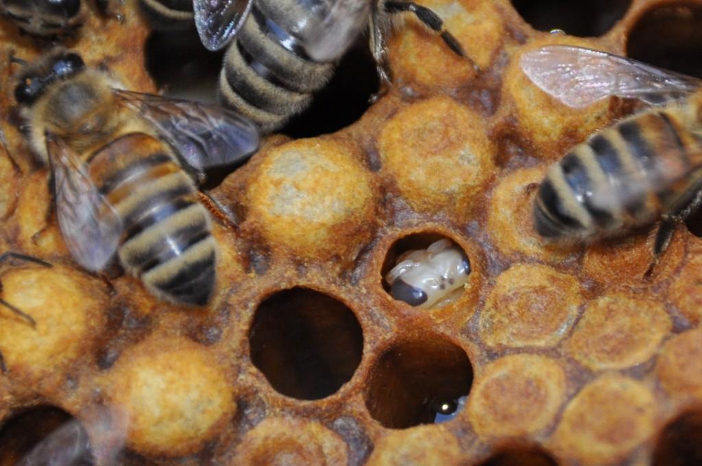 Ist die Biene geschlüpft, bleibt die Puppenhaut in der Zelle zurück.