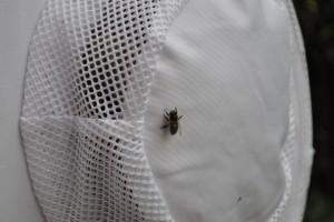 Wärme zieht Bienen an. Eine hat sich auf dem Imkerhut niedergelassen.