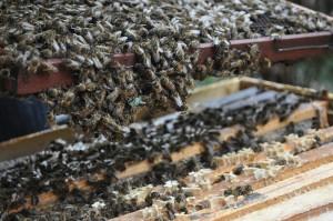 Endlich gelingt es, ein Rähmchen zu lösen. Die Bienen hängen sich in Ketten aneinander.