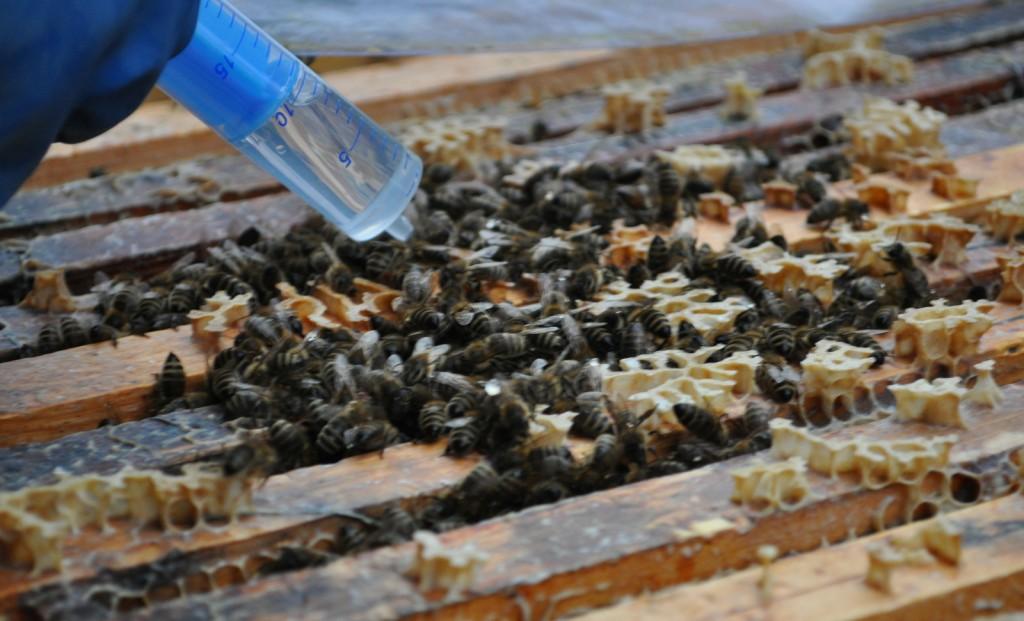 Oxalsäure vertreibt die Varroamilbe. Die Behandlung darf nur erfolgen, wenn die Bienen brutfrei sind.