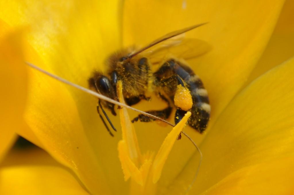 Untrügliches Kennzeichen für den Vorfrühling: Die Krokusse blühen und liefern goldgelben Pollen.
