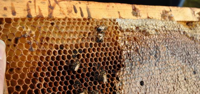 Auch hier kein Leben mehr: Dieses Volk ist unter dem Varroadruck zusammengebrochen. Typisch sind die Kotflecken am Rähmchen, wenige Bienen und genügend Futter.