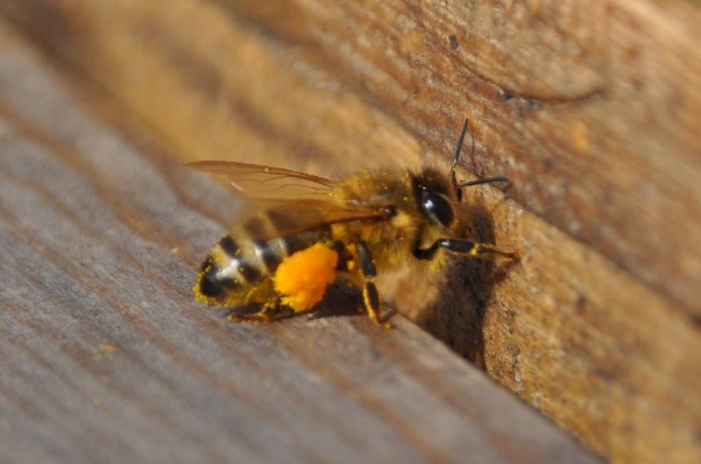 Ah, diese Biene hat sich eine Blüte mit dunkleren Pollen ausgesucht. Vielleicht