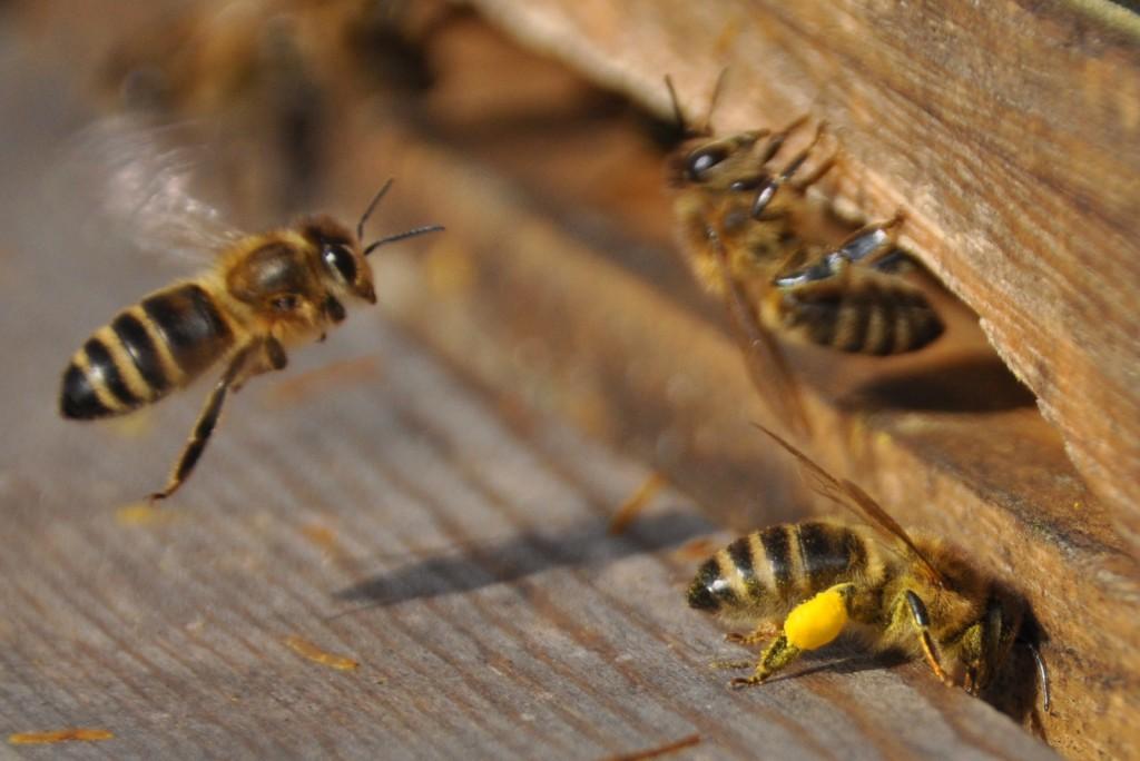 Die Saalweide blüht und liefert reichlich Pollen.