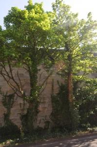 Die Bienen sind umgezogen, sitzen wieder hoch oben im Baum.