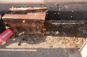 Das sieht doch gut aus: Hinter der Leitplanke laufen die Bienen in die Kiste ein.