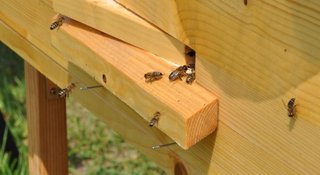 Das auf doppelte Bienenbreite eingeengte Flugloch macht es den Wächterinnen leicht, Räuberei zu verhindern.