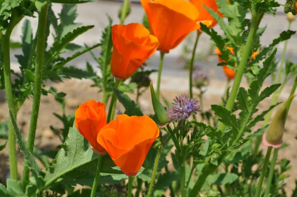 Noch eine Blume, der es hier gefällt. Doch ich weiß den Namen nicht. Schaut aus wie Mohn, doch der Fruchtstand ist ein anderer.