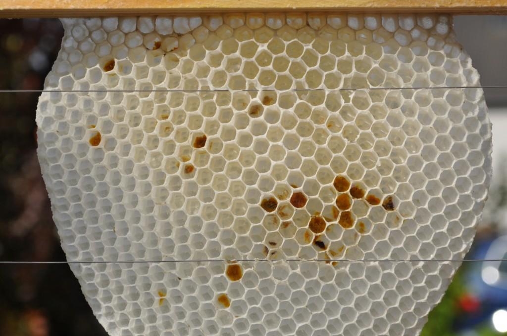 """Den Draht haben sie beim Wabenbau nicht in die Mitte genommen. Wenn sie nun die Rähmchenbreite nicht einhalten, """"schrubben"""" die Bienen beim Ziehen an die Nachbarwabe. Und das ist kein Stimmungsbringer!"""