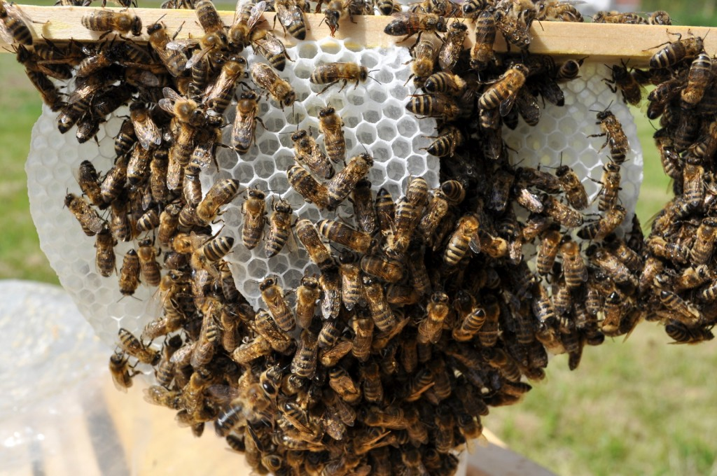 Ganz genau hingeschaut, ist zu erkennen, dass die Bienen vom Sprühnebel der Milchsäure benetzt sind. Rähmchen für Rähmchen habe ich mit so behandelt.