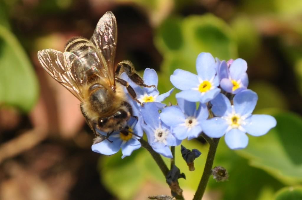 """""""Bienchen, vergiss mein nicht!"""", bitten die Blüten des Vergissmeinnicht. Ratet, woran man das erkennt!"""