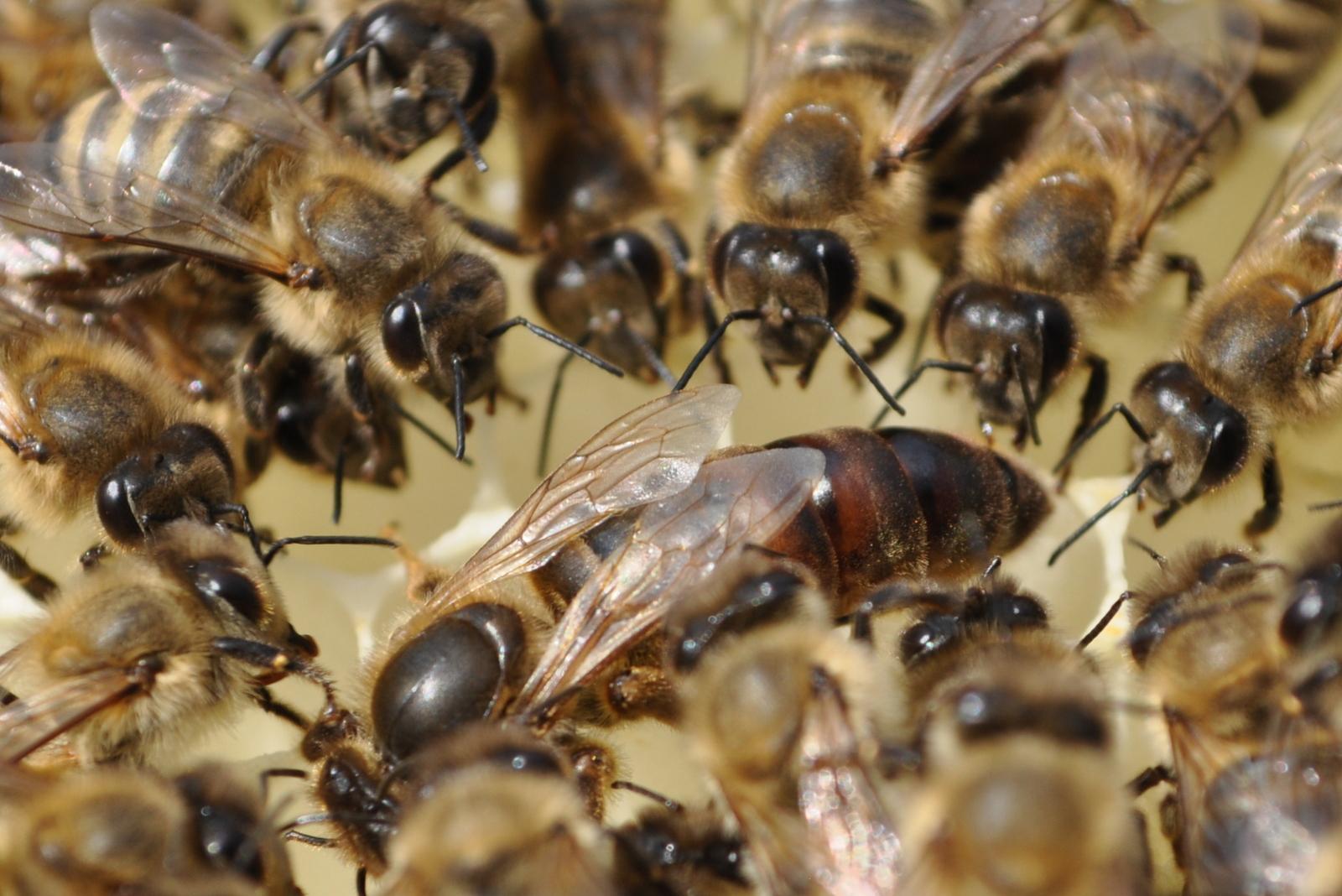 Königin mit Ammenbienen