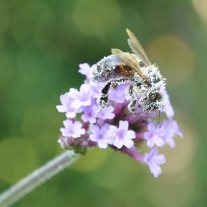 Sehr anziehend wirkt das Eisenkraut auf Bienen. Aber die Pollen stammen von einer anderen Pflanze: