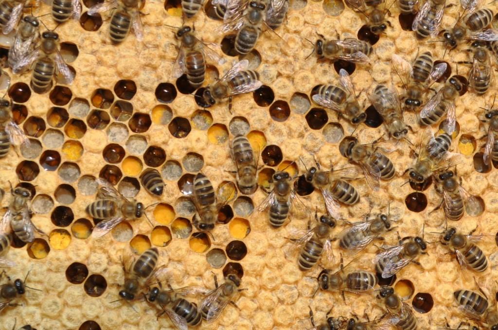 Brut, Pollen, Honig - alles kunterbunt durcheinander.