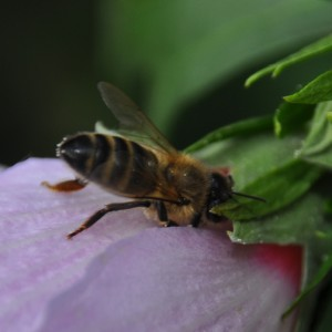 ... oder mit Verrenkungen? Es war tatsächlich immer dieselbe Biene.