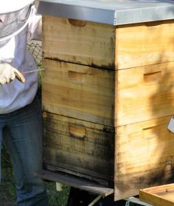 Der dreitägige Dauerregen hat der Beute zugesetzt - schwarze Stockflecken breiten sich aus. Optisch nicht schön, aber für die Bienen kein Problem.