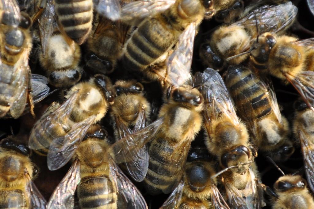Der verräterische Streifen auf dem Rücken zeigt genau, welche Biene Springkraut besucht hat.