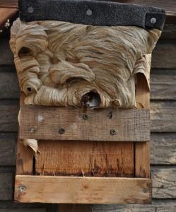 Ein Vogelnistkasten ist für Hornissen recht beengt, also wird draußen weitergebaut.