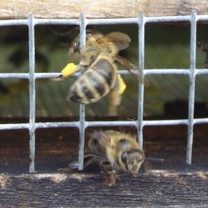 Hauptsache, das Gitter ist scharf.... Die pollenbeladenen Biene windet sich durch die Maschen, die Ausfliegende hat es kapiert - durchs Maschentor kommt sie schneller raus.