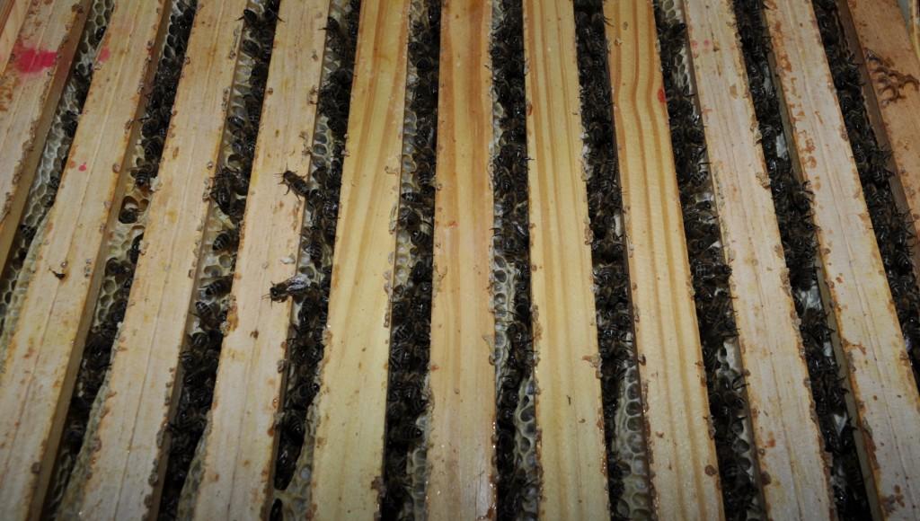 Wabengassen zählen, um den Bienenbestand abzuschätzen. Es sind neun Stück, aber die Bienen sitzen noch recht locker.
