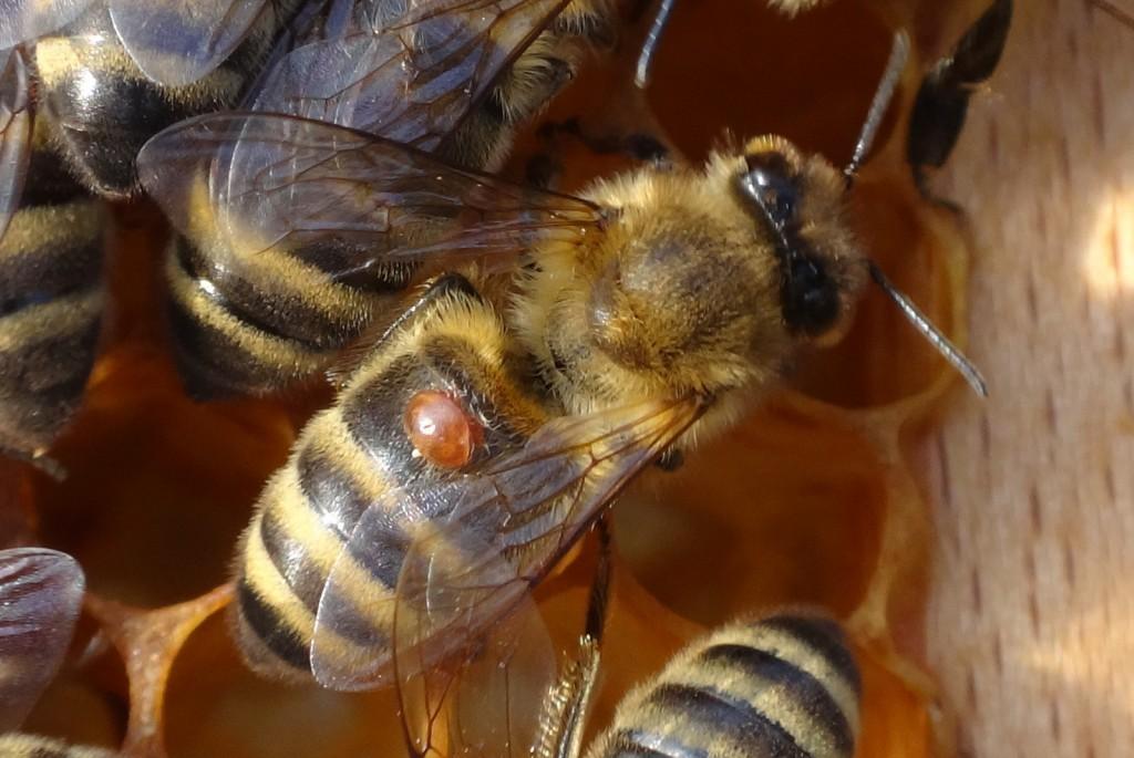 So sah es vor der Behandlung mit Milchsäure aus - eine Varroamilbe lässt sich von einer Arbeiterin herumtragen.
