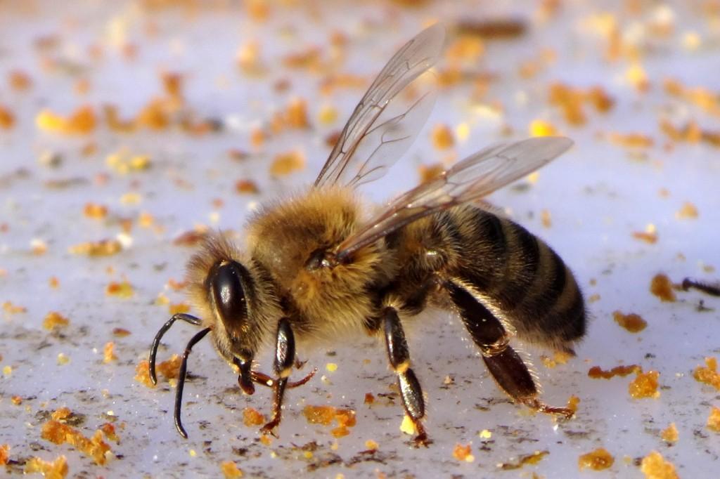 Bienen können ihre Zunge bewegen.