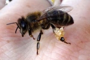"""Derart grob geformte Pollenhöschen habe ich noch nie gesehen. Bis jetzt ist nicht ganz klar, um welche Art """"Transportgut"""" es sich handelt."""