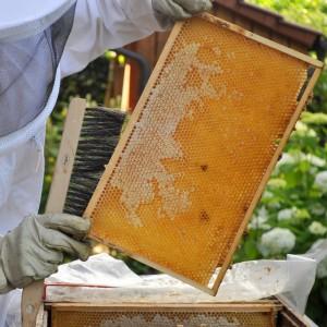 Eine helle Honigwabe aus dem Vorjahr mit hohem Anteil an Lindenblütenhonig.