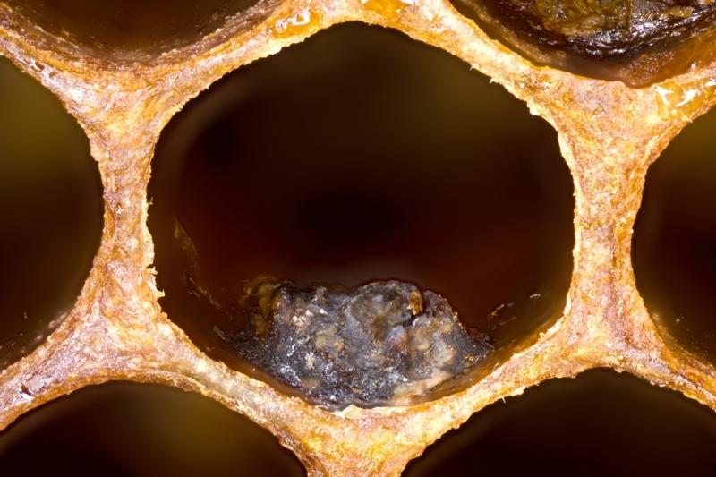Statt Brut findet sich in der Zelle ein brauner Schorf.