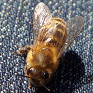 Endlich mal wieder eine heimische Biene fotografiert. (Die Bienen in Kamerun von letzter Woche zählen da nicht).