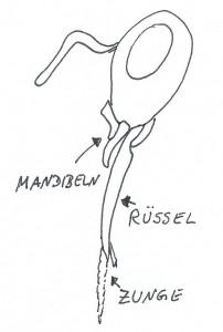 Der Rüssel wird aus den Kauladen gebildet, in dem sich die Zunge bewegt. (eigene Zeichnung wg Uhrheberrecht)
