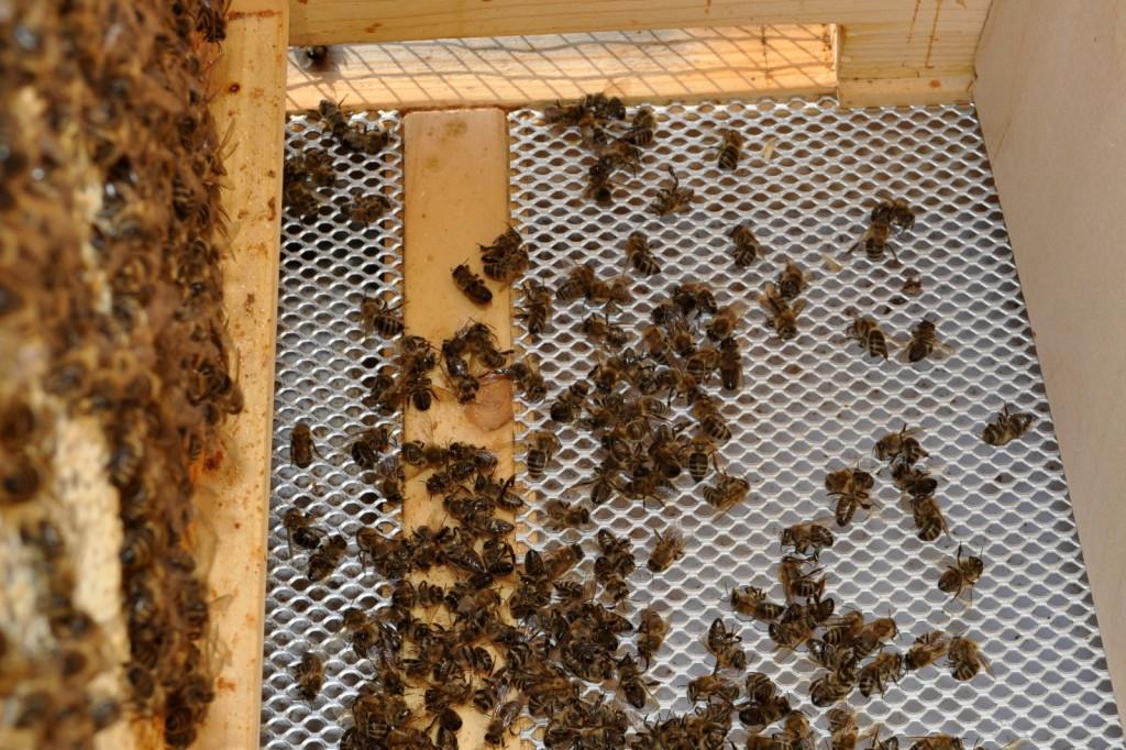 Reichlich tote Bienen auf dem Gitterboden. Erforen oder natürlicher Totenfall?