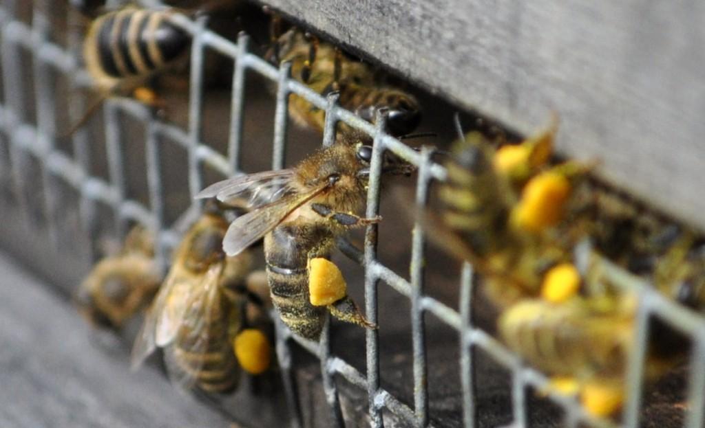 Das Mäusegitter zu überwinden, fällt mit prall gefüllten Pollenhöschen schwer. Also weg mit dem Gitter, jetzt können sich die Bienen gegen Eindringlinge wehren.